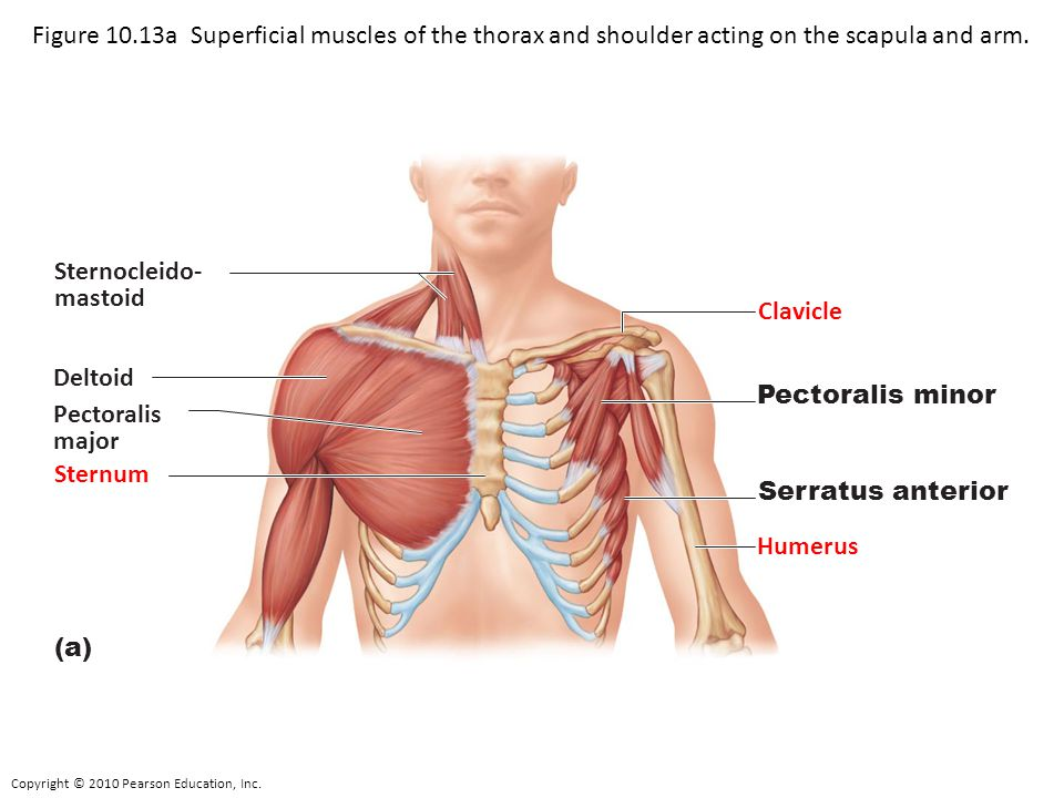 Figure 10.13a Superficial muscles of the thorax and shoulder acting on the scapula and arm.