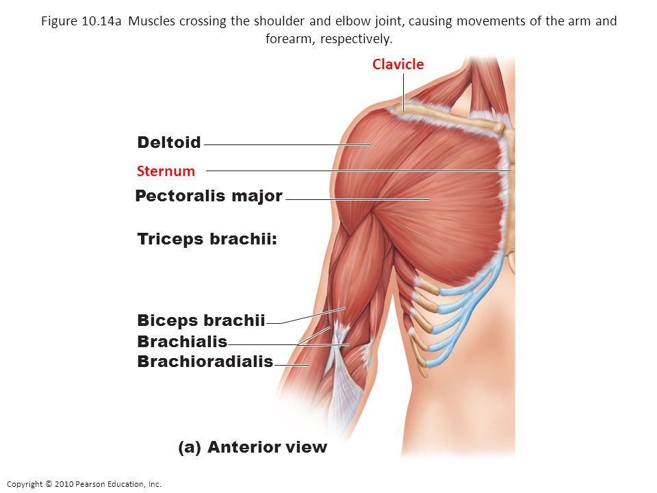 Upper Arm Muscle Diagram Side View Trusted Wiring Diagram
