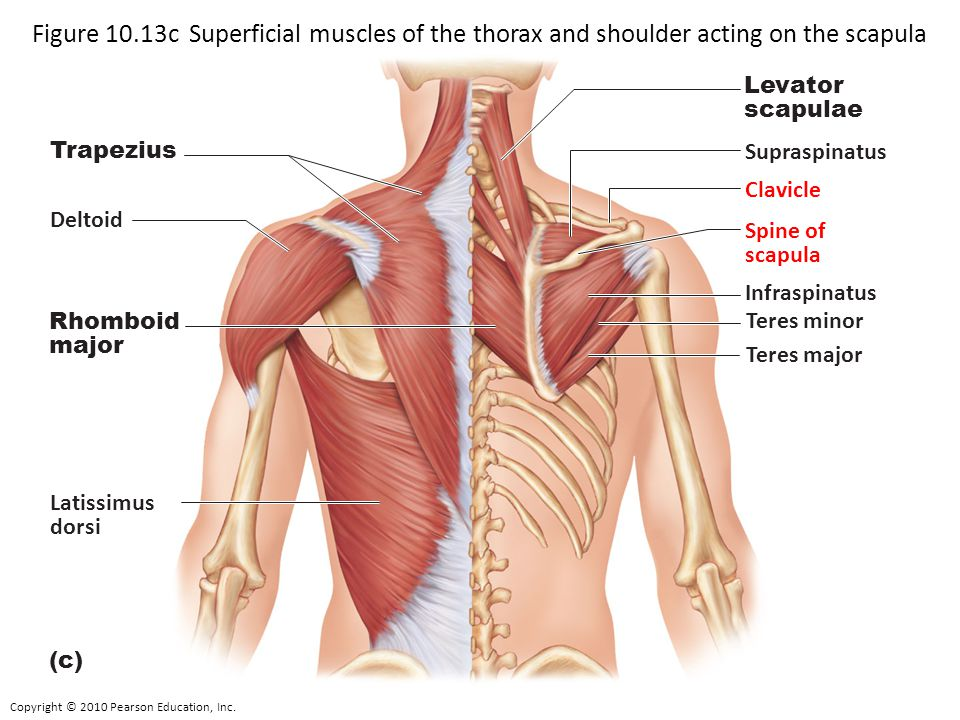 Figure 10.13c Superficial muscles of the thorax and shoulder acting on the scapula and arm.