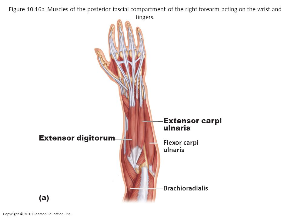 Extensor carpi ulnaris Extensor digitorum Flexor carpi ulnaris