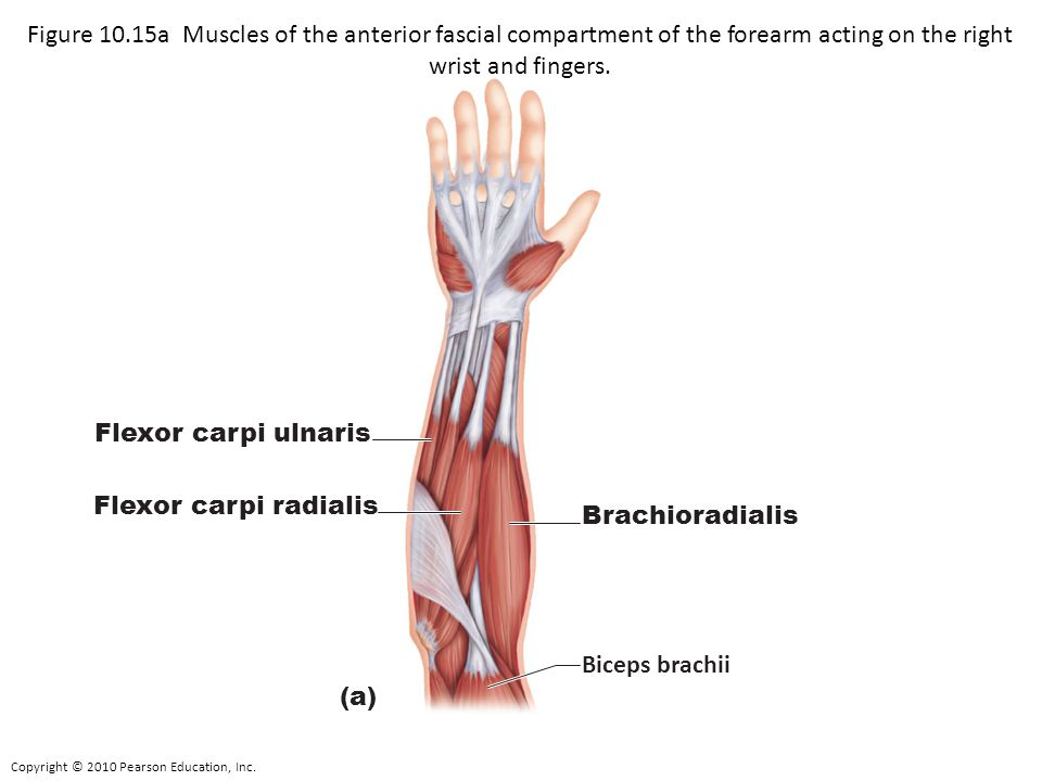 Figure 10.15a Muscles of the anterior fascial compartment of the forearm acting on the right wrist and fingers.