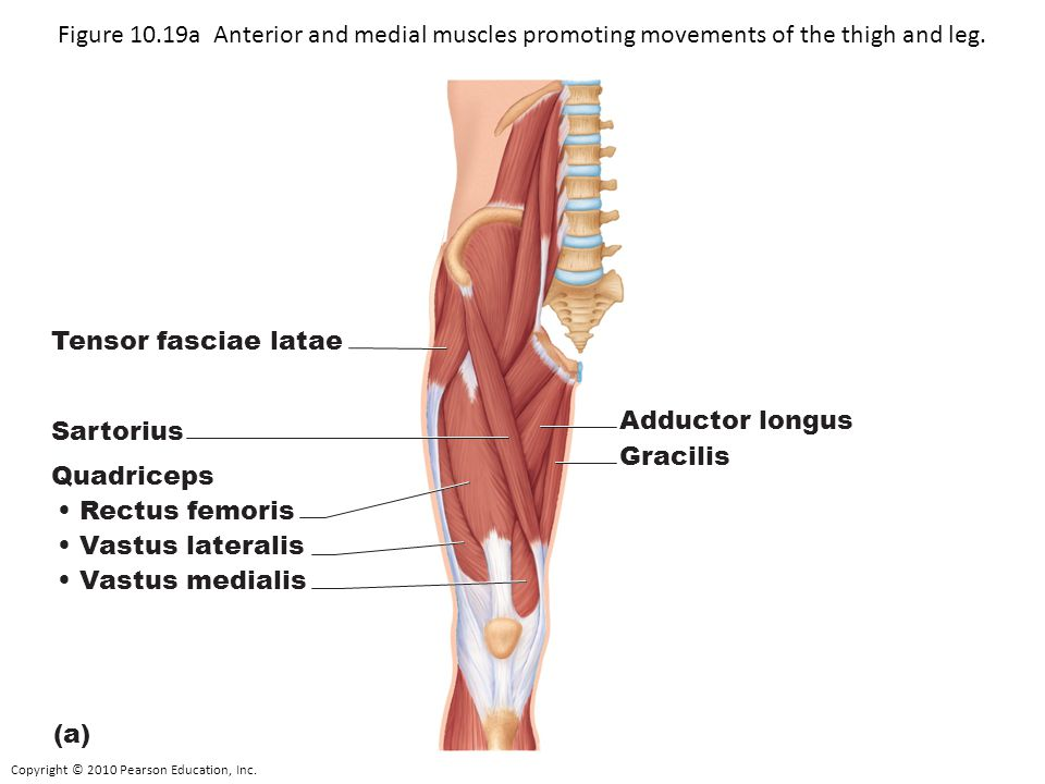 Figure 10.19a Anterior and medial muscles promoting movements of the thigh and leg.