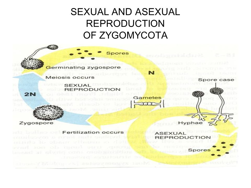 Zygomycetes asexual reproduction definition