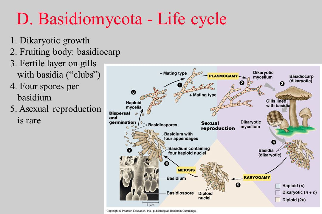 Basidiomycota asexual life cycle