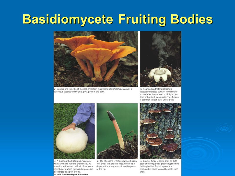 Kingdom Fungi Chapter ppt video online download