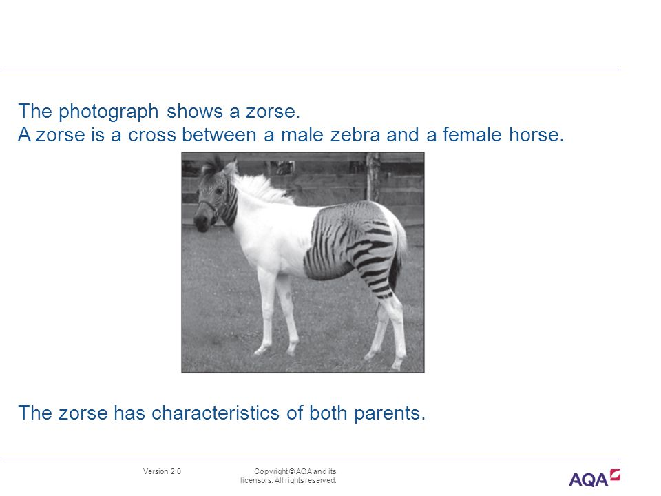 The photograph shows a zorse.