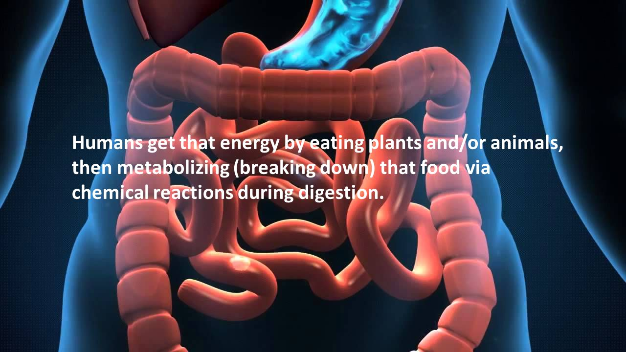 Humans get that energy by eating plants and/or animals,