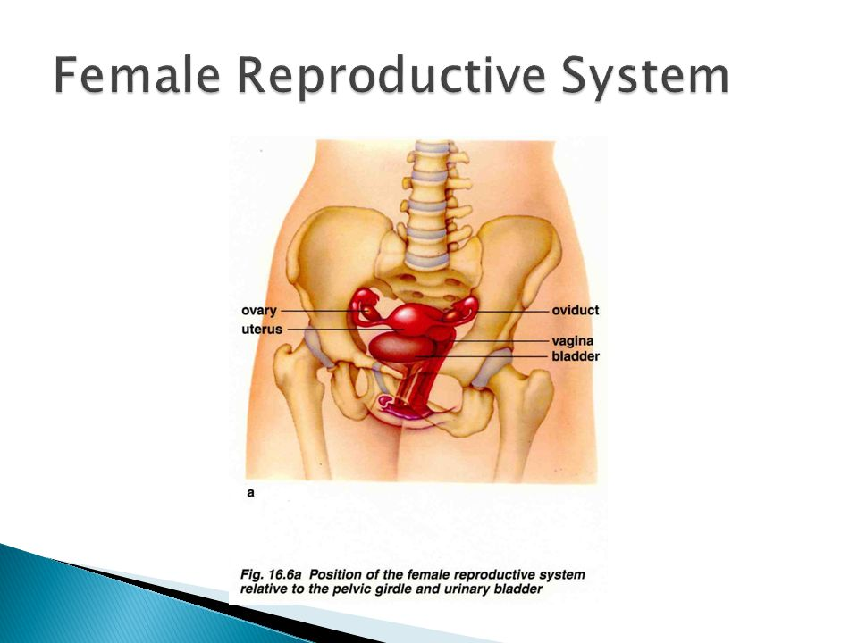 Perfecto Human Anatomy And Physiology Reproductive System Friso ...