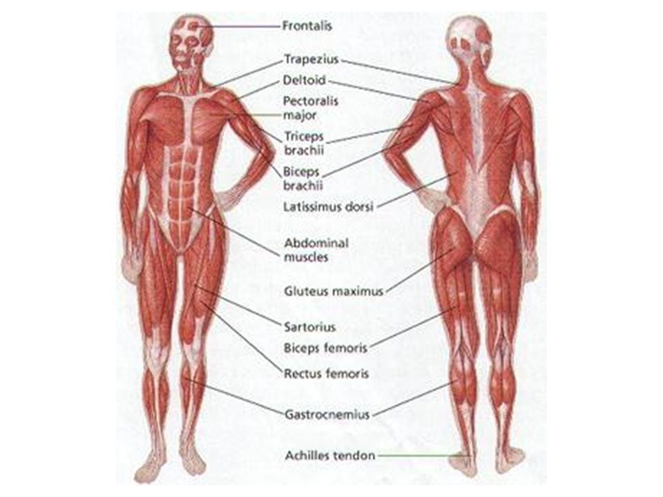 11 Major Muscle Group Diagram All Kind Of Wiring Diagrams