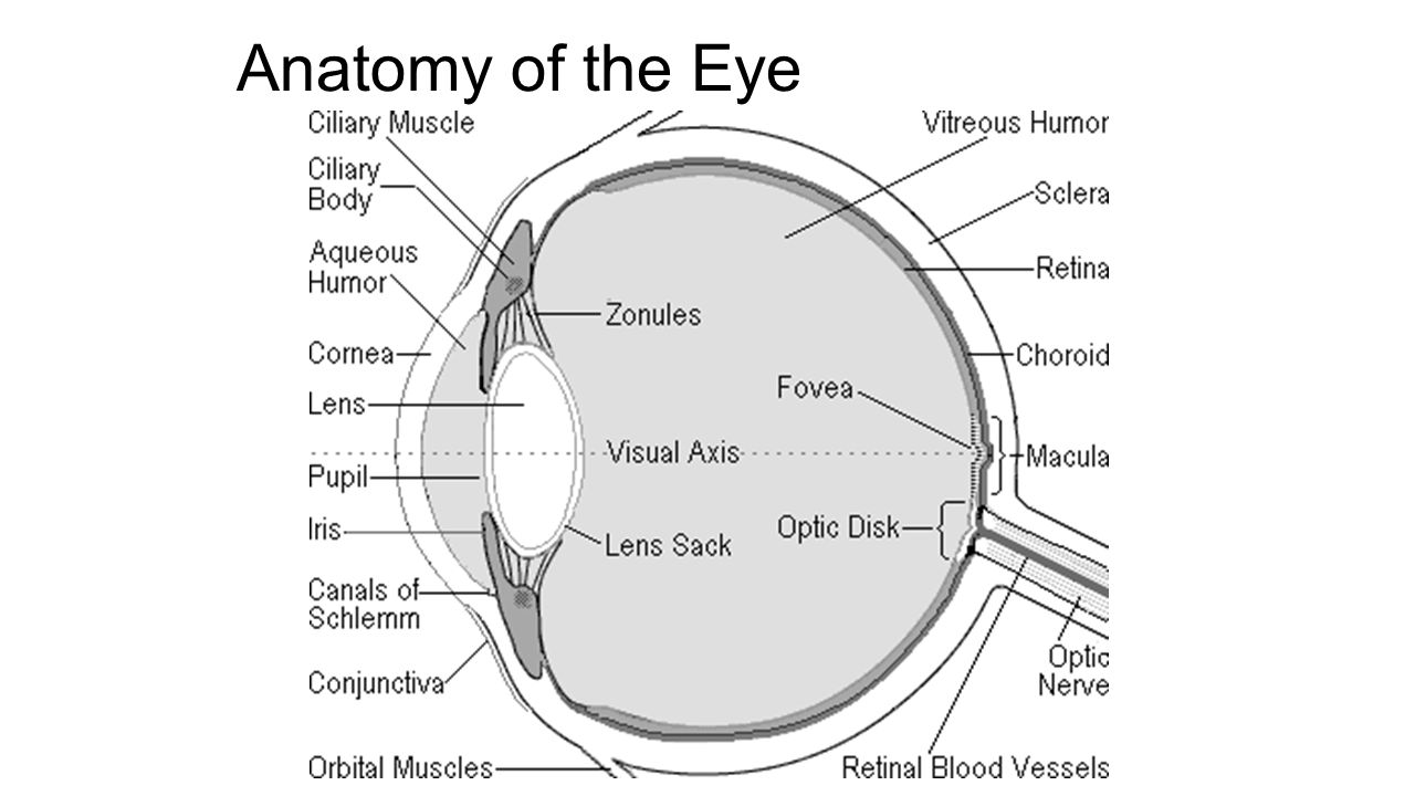 ANATOMY & PHYSIOLOGY OF THE SENSES - ppt video online download