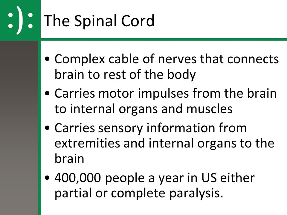 The Spinal Cord Complex cable of nerves that connects brain to rest of the body.