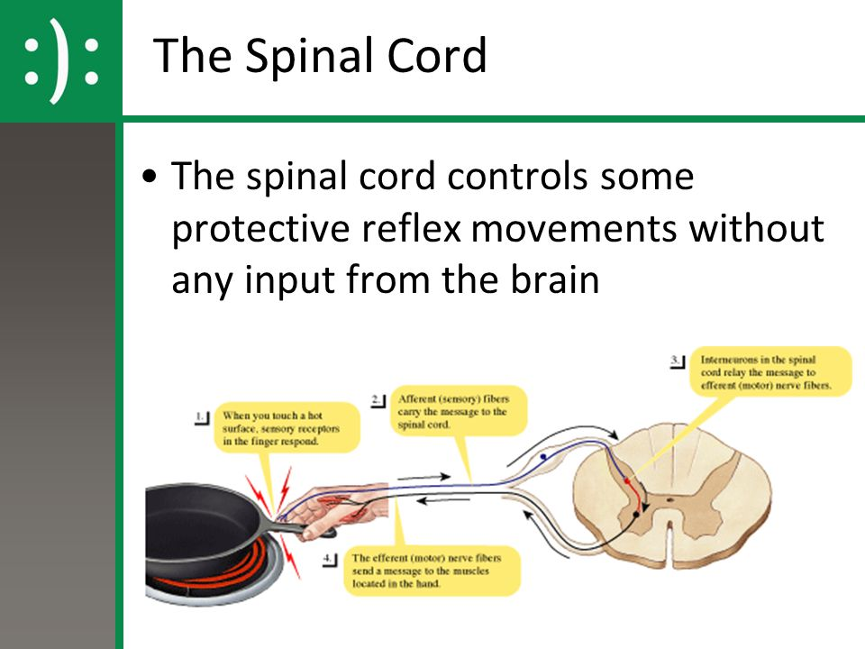 The Spinal Cord The spinal cord controls some protective reflex movements without any input from the brain.