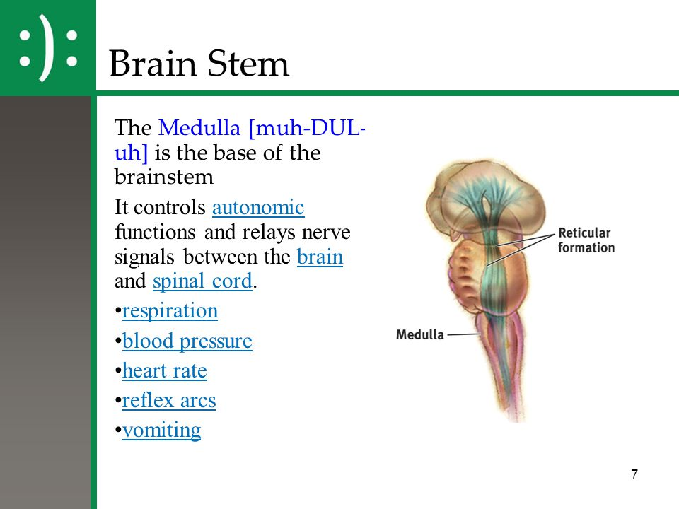 Brain Stem The Medulla [muh-DUL-uh] is the base of the brainstem