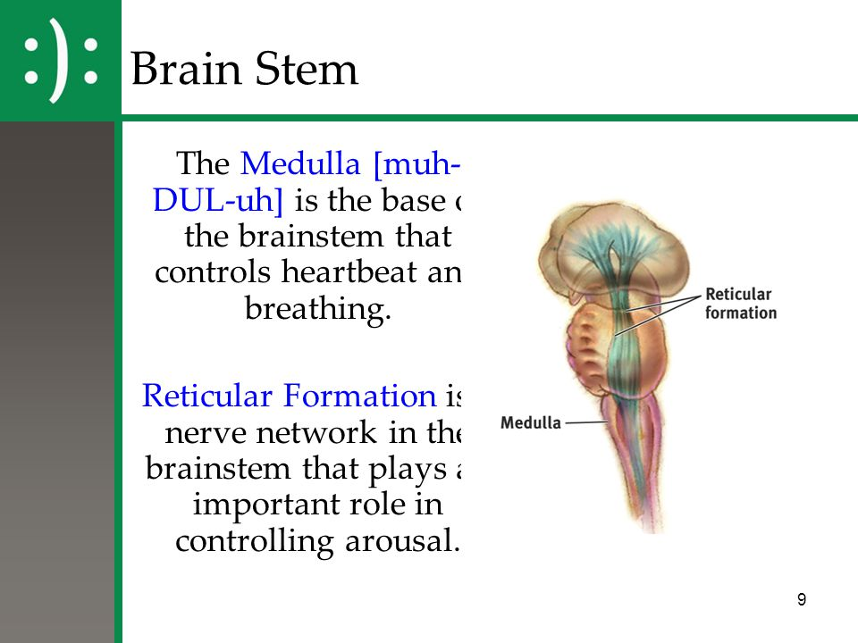 Brain Stem The Medulla [muh-DUL-uh] is the base of the brainstem that controls heartbeat and breathing.