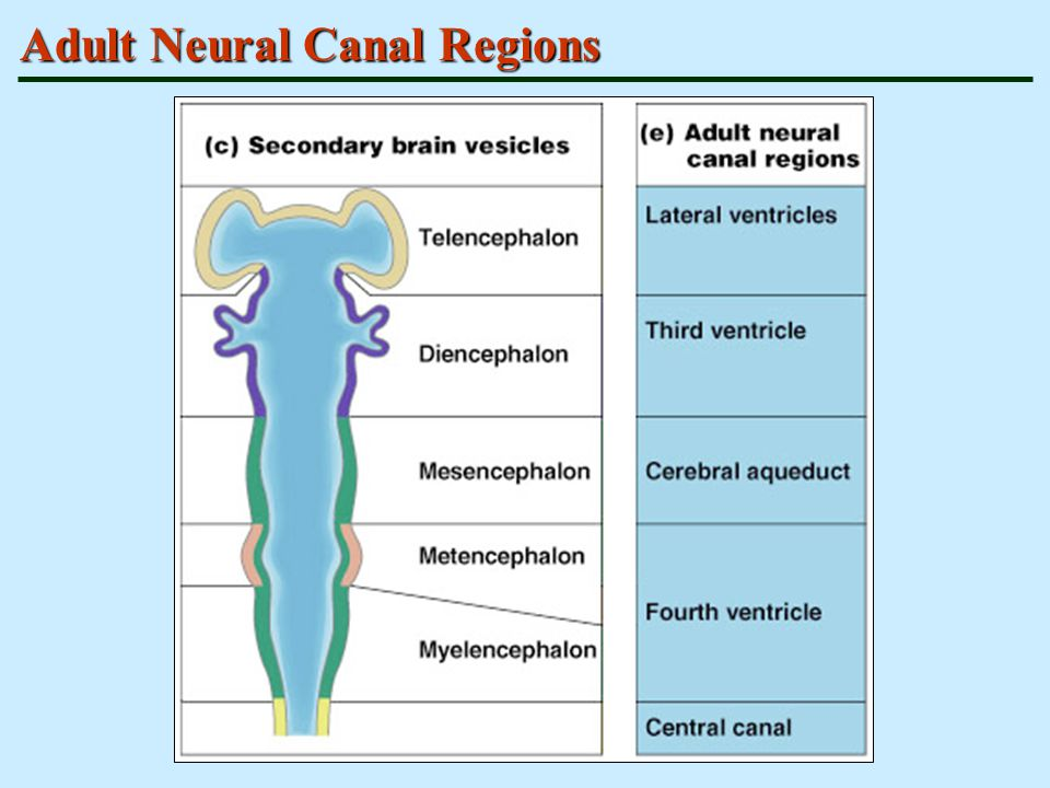 Adult Neural Canal Regions
