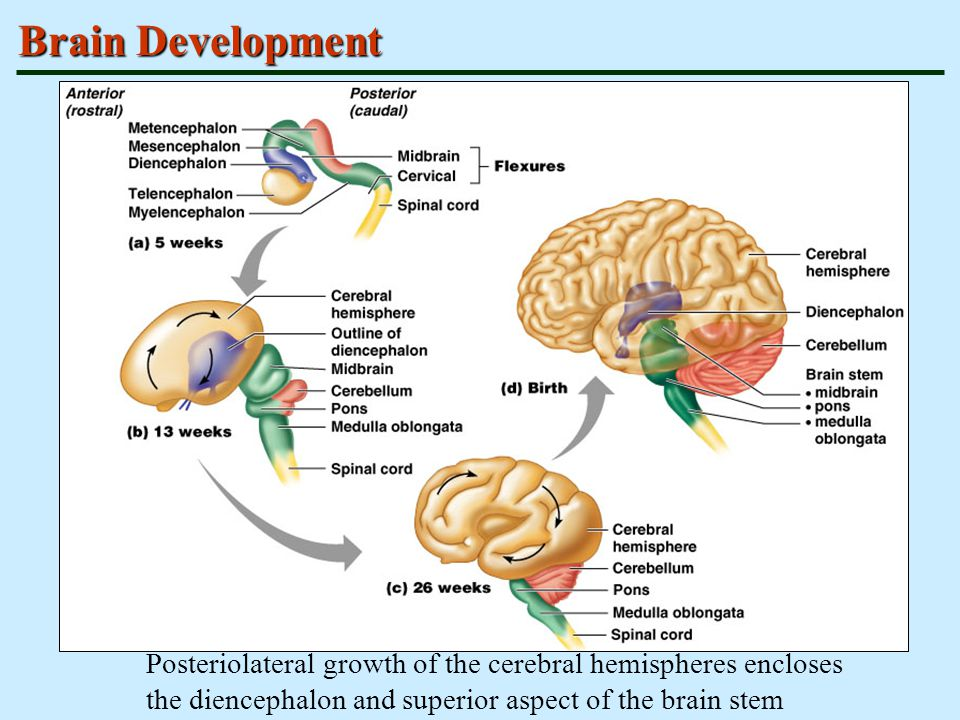 Brain Development Posteriolateral growth of the cerebral hemispheres encloses the diencephalon and superior aspect of the brain stem.