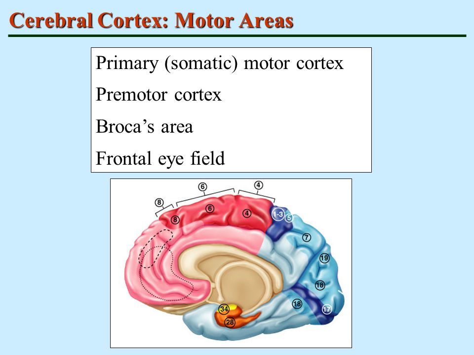 Cerebral Cortex: Motor Areas