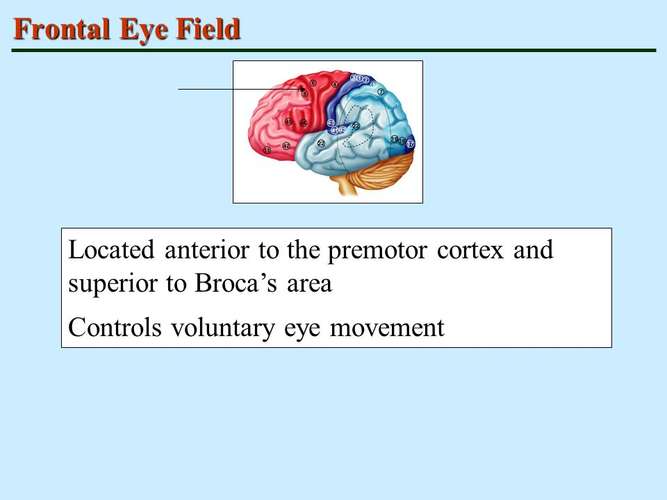 Frontal Eye Field Located anterior to the premotor cortex and superior to Broca's area.