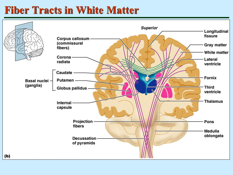 Fiber Tracts in White Matter