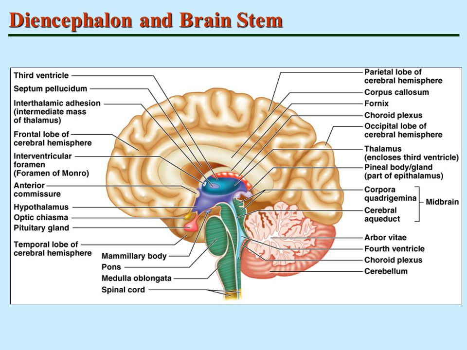 Diencephalon and Brain Stem