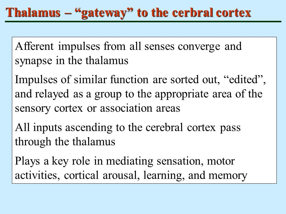 Thalamus – gateway to the cerbral cortex