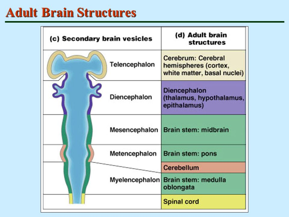 Adult Brain Structures