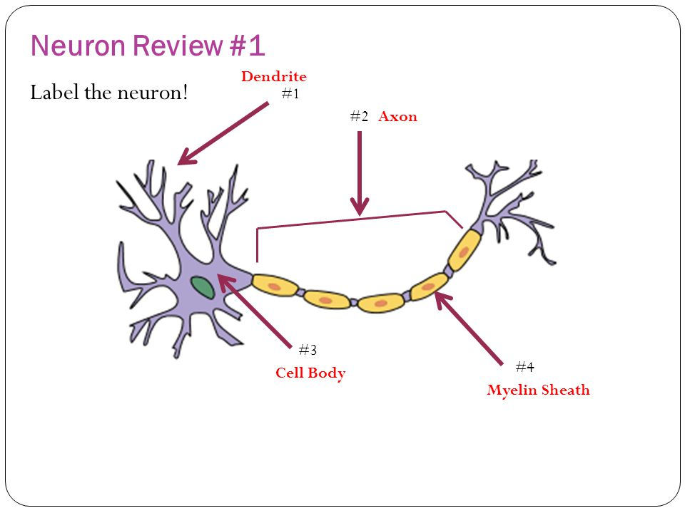 Label neuron diagram anything wiring diagrams quiz 1 neuron review questions ppt video online download rh slideplayer com diagram of a neuron synapse motor neuron diagram ccuart Gallery