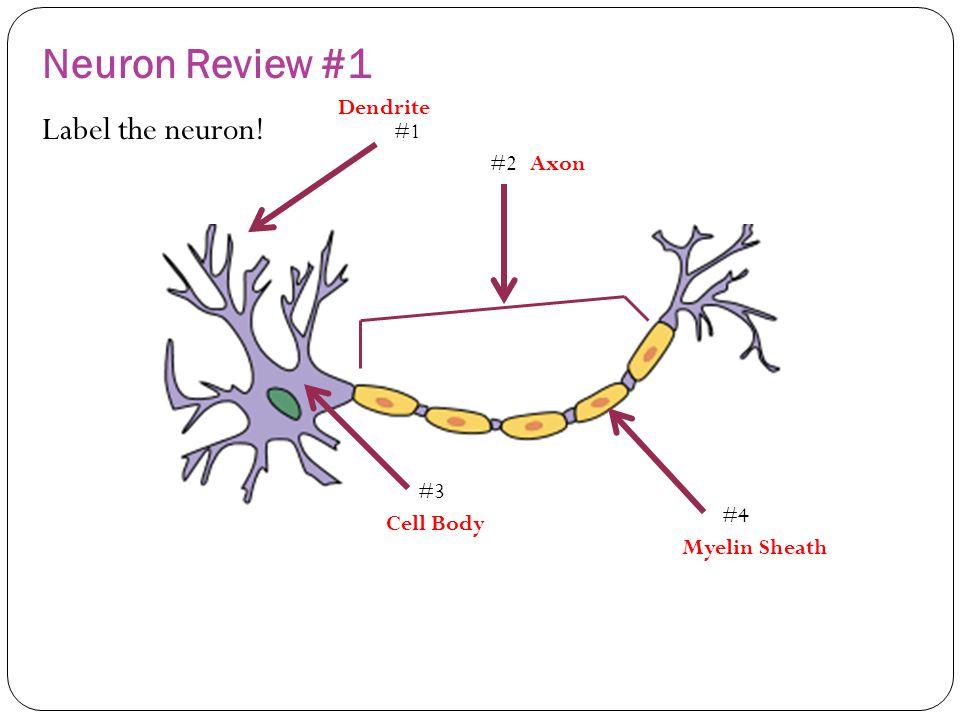 Quiz 1 neuron review questions ppt video online download 2 neuron ccuart Choice Image
