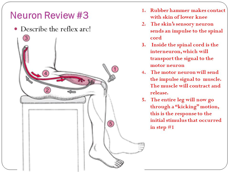 Quiz 1 neuron review questions ppt video online download neuron review 3 describe the reflex arc ccuart Choice Image