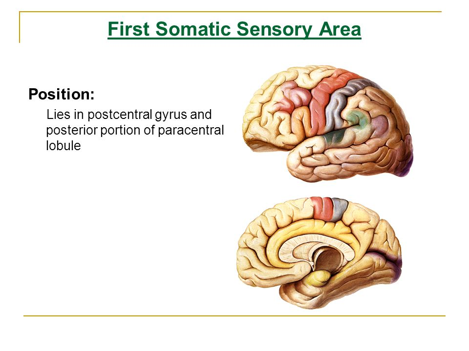the somatic sensory area is located in the