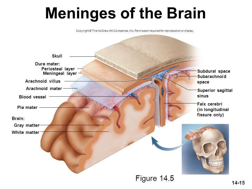 Meninges of the Brain Figure 14.5 Skull Dura mater: Periosteal layer