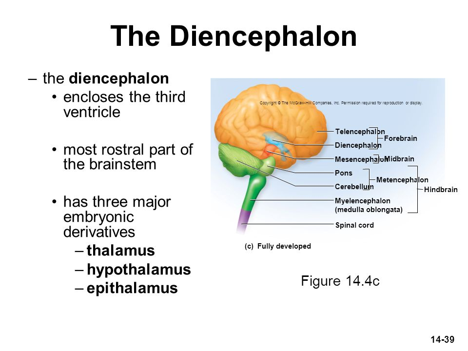 The Diencephalon the diencephalon encloses the third ventricle