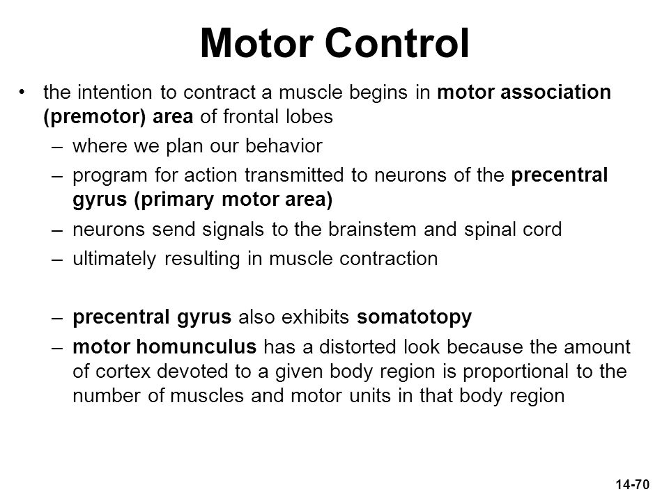Motor Control the intention to contract a muscle begins in motor association (premotor) area of frontal lobes.