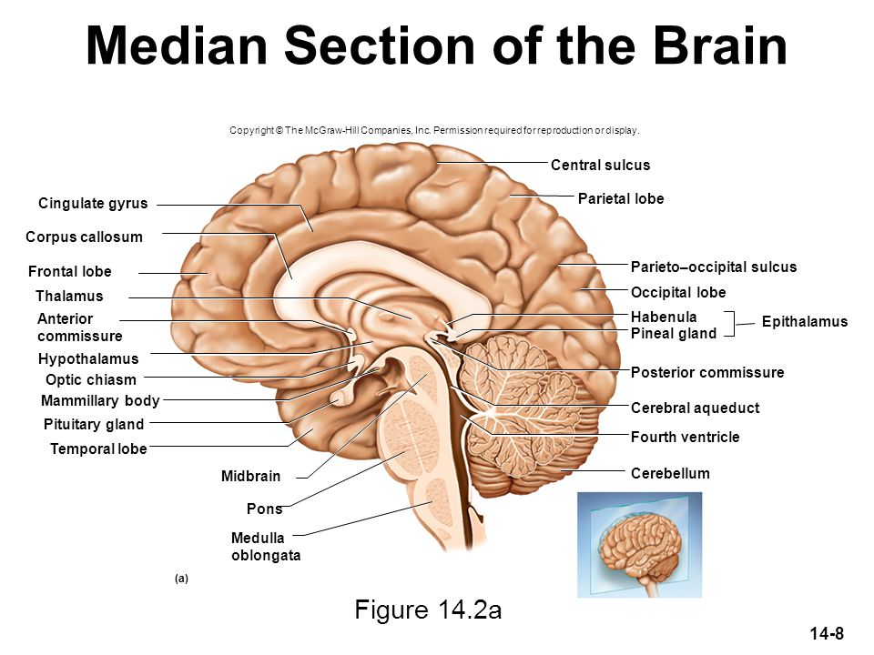Median Section of the Brain