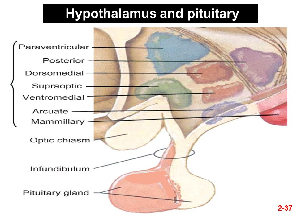Chapter 2pituitary Gland Ppt Video Online Download