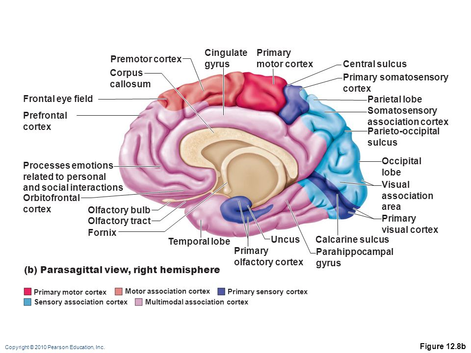 The Central Nervous System Ppt Video Online Downloadrhslideplayer: Primary Smell Cortex Location At Gmaili.net