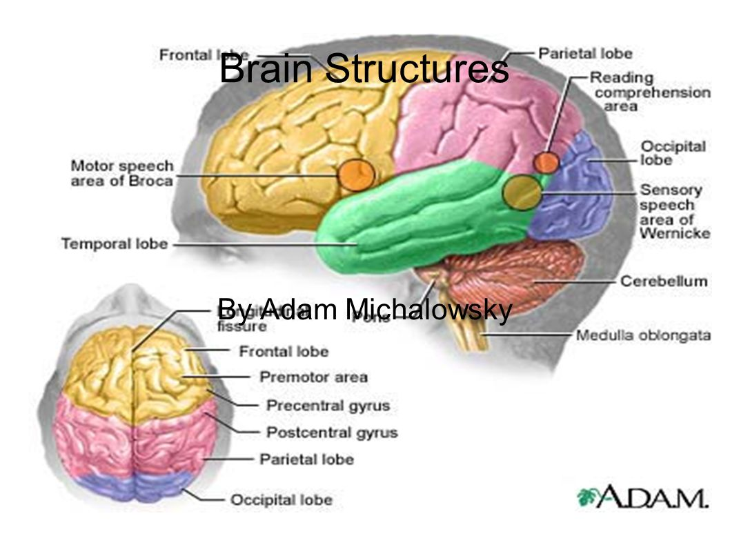 Brain Structures By Adam Michalowsky Ppt Download