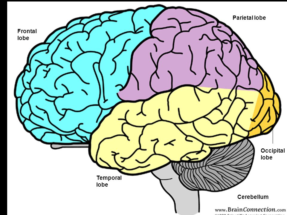 Parietal lobe Frontal lobe Occipital lobe Temporal lobe Cerebellum