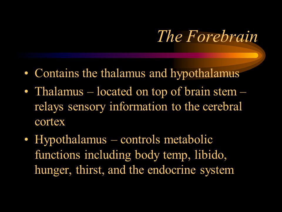 The Forebrain Contains the thalamus and hypothalamus