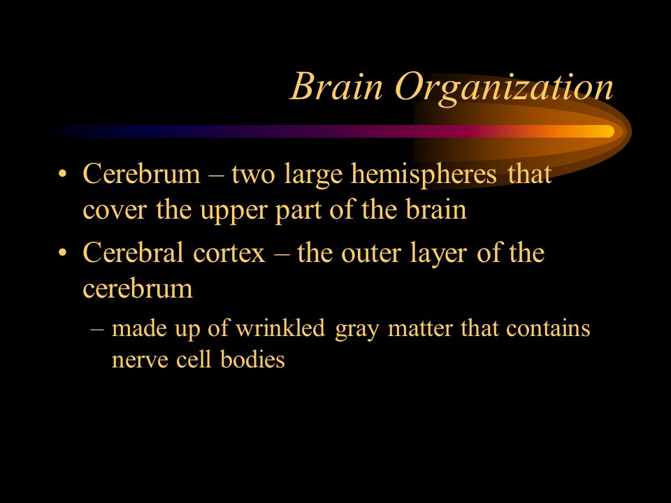 Brain Organization Cerebrum – two large hemispheres that cover the upper part of the brain. Cerebral cortex – the outer layer of the cerebrum.