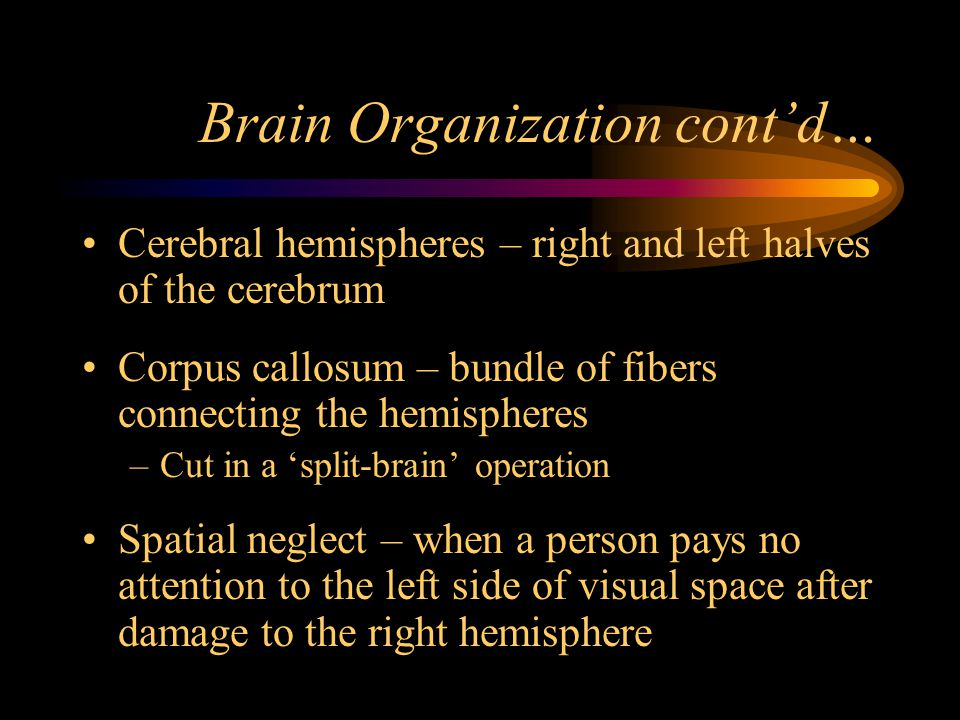 Brain Organization cont'd…