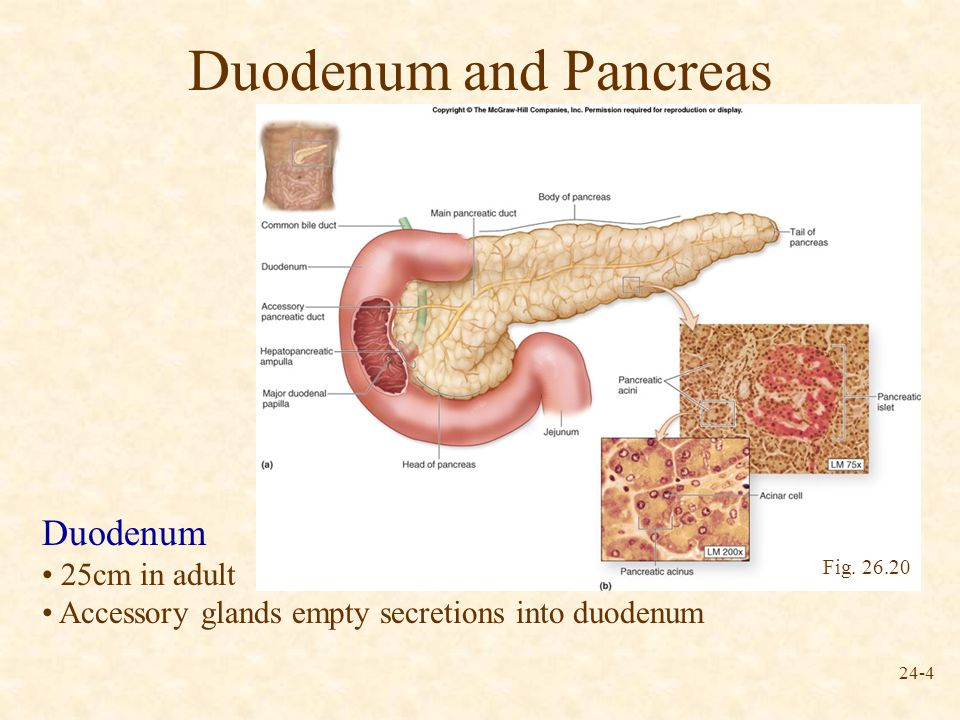 where is the human duodenum - 960×720