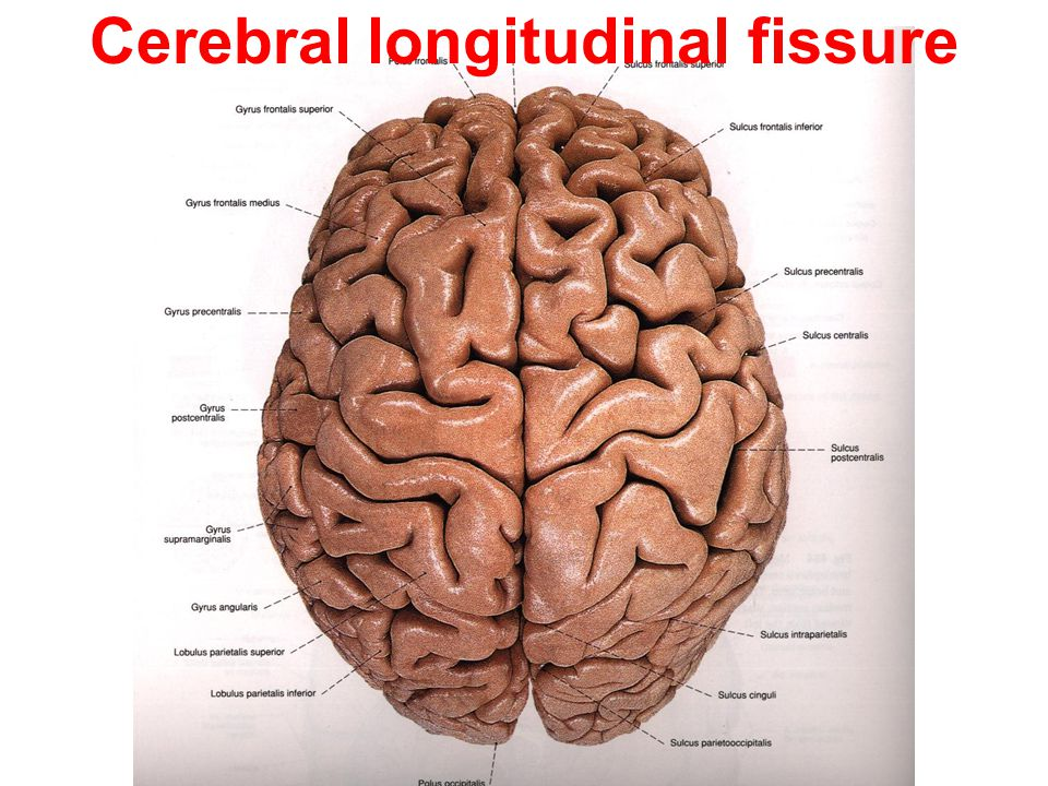 Cerebral longitudinal fissure Surfaces, borders and poles. - ppt ...