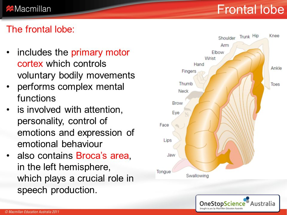 Frontal lobe The frontal lobe: