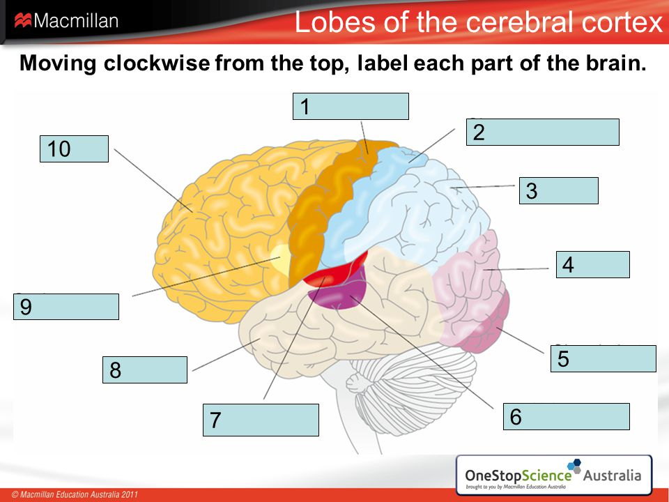 Lobes of the cerebral cortex
