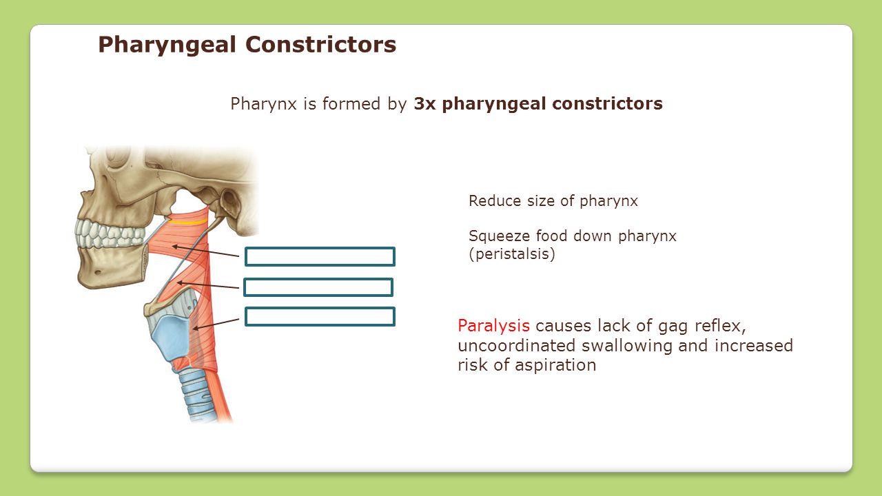 Pharynx, Larynx & Lung Anatomy - ppt video online download