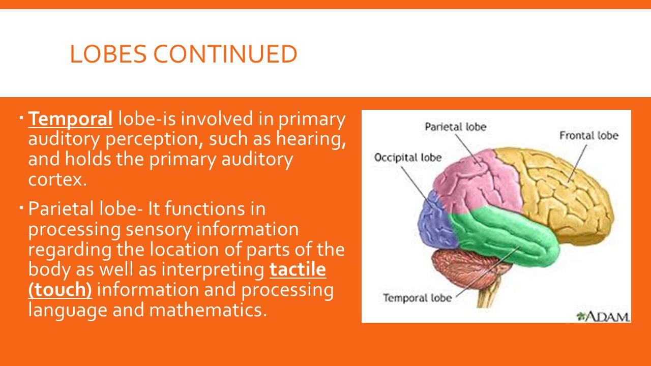 Lobes Continued Temporal lobe-is involved in primary auditory perception, such as hearing, and holds the primary auditory cortex.