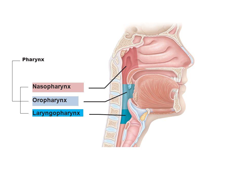 Nasopharynx Nasal Cavity Pharynx Nostril Oropharynx Larynx