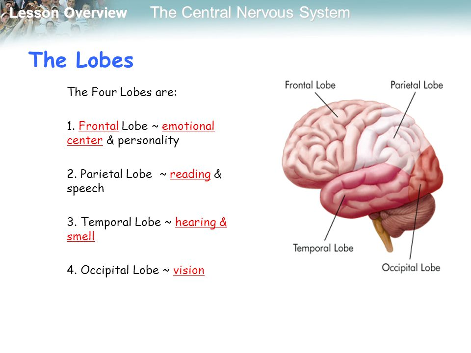 The Lobes The Four Lobes are: