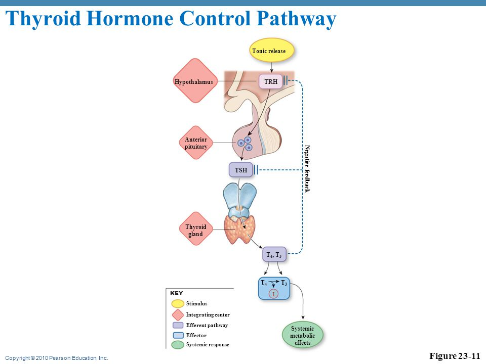 how hormones effect the metabolism Hormones that affect metabolism glands & metabolism • metabolism is the sum of the chemical reactions • • • • required to live metabolism (metabolic rate) is affected by the thyroid, parathyroids and anterior pituitary gland the thyroid gland is situated just below.